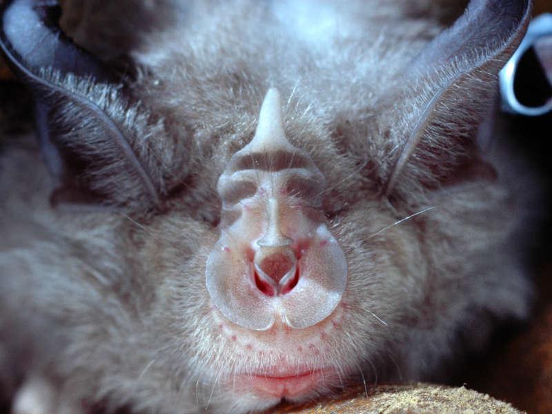 The Devon Greater Horseshoe Bat Project
